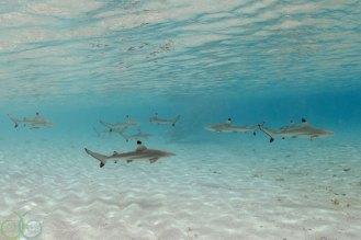 Juvenille Black Tip Reef Sharks patrol the shallows.