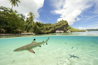 Juvenille Black Tip Reef Sharks patrol the shallows.