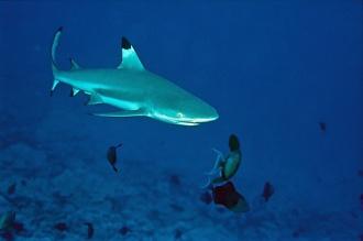 Shark Diving.