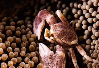 Anemone Crab.