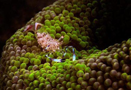 Anemone Shrimp.