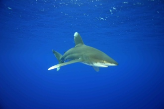 Oceanic White Tip Shark.