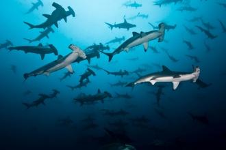 Large school of Hammerhead Sharks.