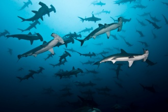 Large school of Hammerhead Sharks.