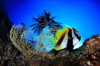 Banner Fish.