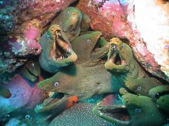 Moray Eels.