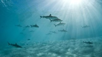 Black Tip Reef Sharks.