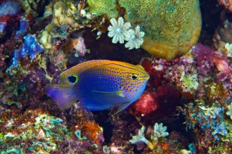 Colorful Reef Fish.