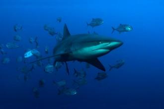 Galapagos Shark.