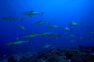 Grey Reef Sharks.