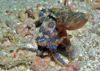 Blue Ring Octopus.