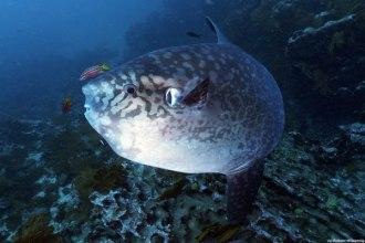 Mola Mola (Sunfish).