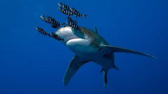Oceanic Whitetip Shark.