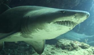 Ragged Tooth Shark.