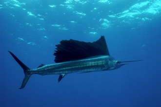 Sailfish.