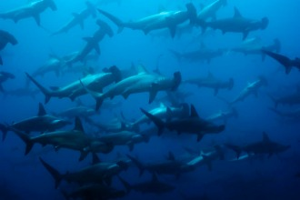 School of Hammerhead Sharks.