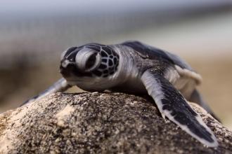 Turtle nesting site on Sangalaki Island.