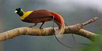 Red Bird of Paradise.
