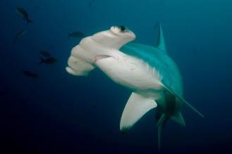 Hammerhead Shark.
