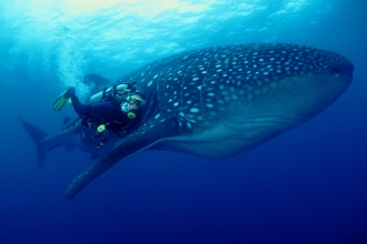 Whaleshark.
