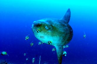 Mola Mola.