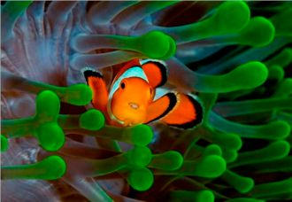 Anemone and Clown Fish