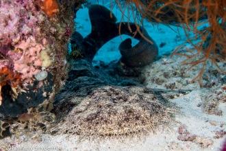 Wobbegong Shark.