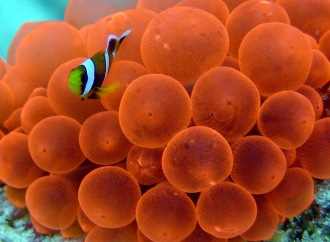 Anamone and clown fish