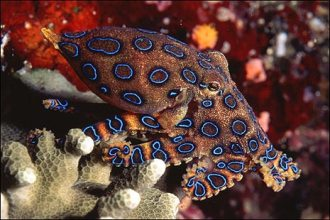 Blue Ringed Octopus.