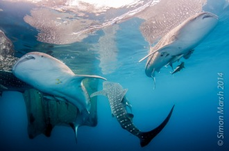 Whale Sharks at