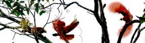 Red Bird of Paradise.