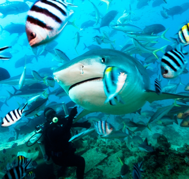 Shark diving at Beqa Lagoon Resort