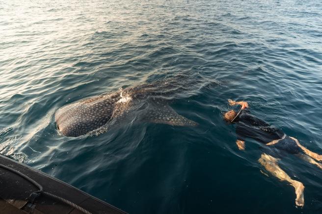 Komodo Islands_Swim with Whale Sharks_1