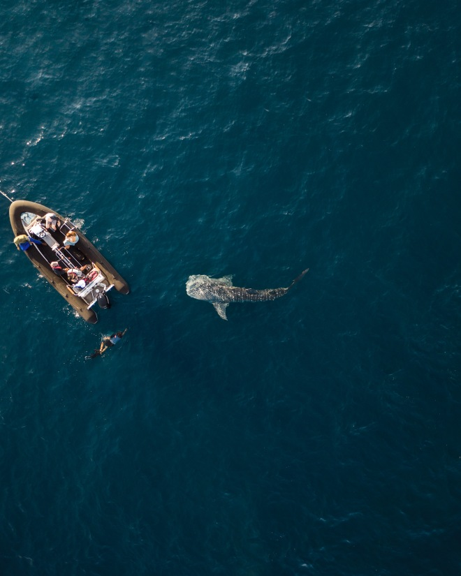 Komodo Islands_Swim with Whale Sharks_2